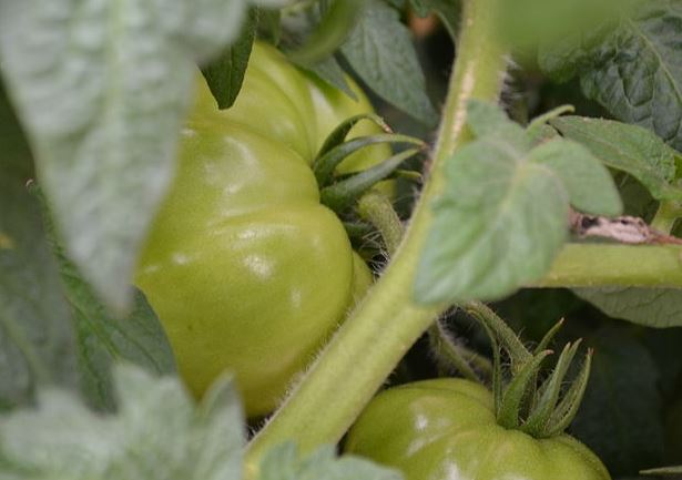 800px-Green_Tomatoes